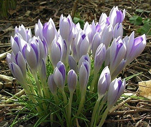 25 CROCUS LILAC BEAUTY beddingRock gardensborders