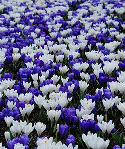 Crocus Bulbs Bedding Rock Gardens Borders Mix White and Blue 50 Bulbs