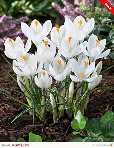 Crocus BulbsJeanne dArcWhite BeddingRock GardensBorders Now Shipping 10 Bulbs by BasqueStore