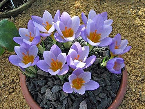Cutdek Crocus SIEBERI Firefly BeddingRock GardensBorders Shipping 100 Bulbs