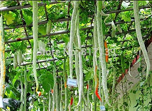 New Home Garden Plant 3 Seeds SNAKE GOURD Multicolored Craft Gourd Lagenaria Siceraria Vine Vegetable Seeds