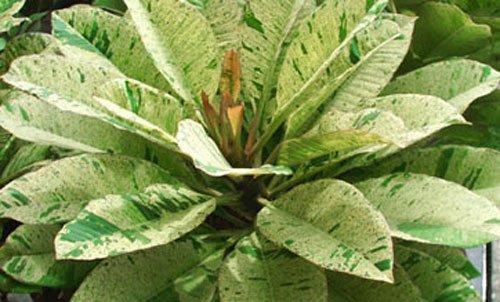 7 -15 Inch Rooted Plumeria Plants Rare Real Plumeria Flowersquotno302-unyamanee-variegated&quot
