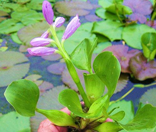 5 Water Hyacinths 5 Water Lettuce 5 Parrots Feather Nursery Grown in Aquatics Plants Nursery Live Water Garden Pond Plants 15 Water Lettuce Water Hyacinths Parrots Feather Bundle