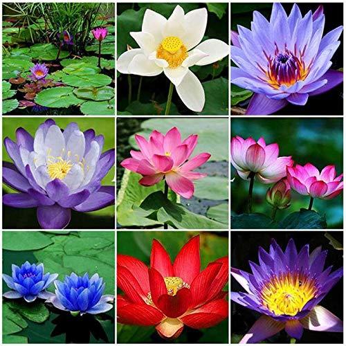 HOTUEEN Water Lily Flower Seeds Perennial Bonsai Plant Garden Pond Decoration