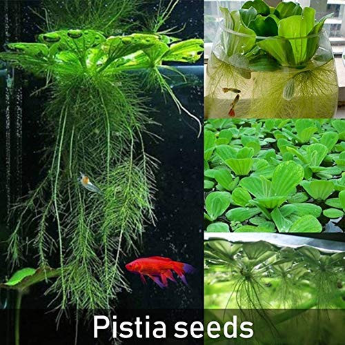 ocijf179 50Pcs Dichondra Pistia Seeds Garden Pond Plant Pool Aquarium Tank DecorSuitable KitchenBalconyLiving RoomGarden Decoration Dichondra Seeds