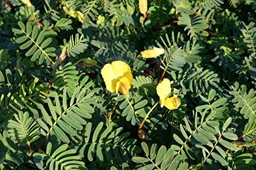 POND PLANT SENSITIVE PLANT LARGE LEAF