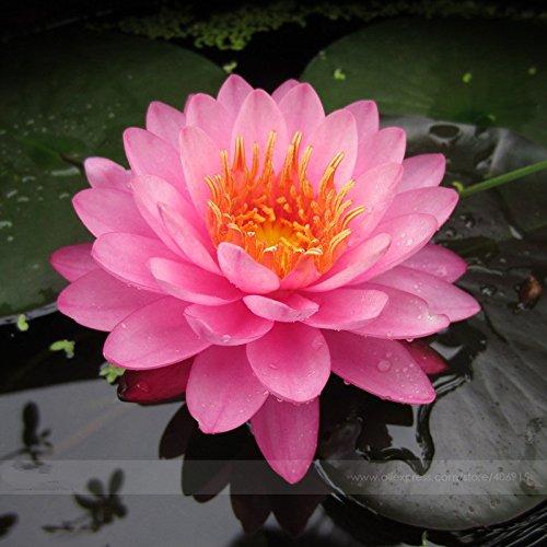 Pink Nelumbo Nucifera Lotus Flowers Pond Plants Bonsai Indoor