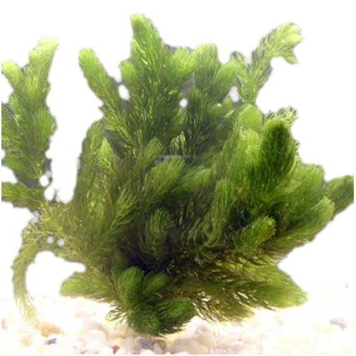 Pond Oxygenating Hornwort 1 Bunch - 6 Stem Plants