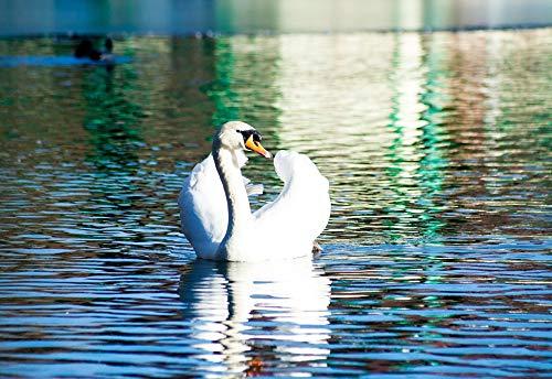 Home Comforts Peel-n-Stick Poster of White Swan Swim Water Bird Beautiful Pond Vivid Imagery Poster 24 x 16 Adhesive Sticker Poster Print
