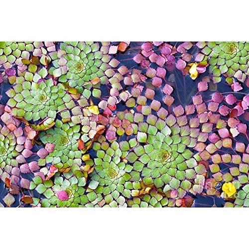 Gsdviyh36 20Pcs Aquarium Aquatic Plant Ludwigia Sedioides Seeds Garden Fish Tank Decor Non-GMO Seeds100 Pure Live Seed Ludwigia Sedioides Seeds