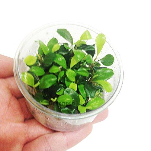 Bucephalandra Green Wave Leaf Live Aquatic Plant in Tissue Cup for Aquarium Freshwater Fish Tank by Greenpro