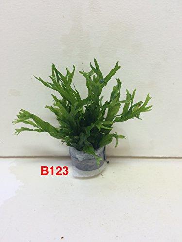 Exotic Live Aquatic Plant For Fresh Water Aquarium Microsorium windelov B123 By Jayco BUY 2 GET 1 FREE