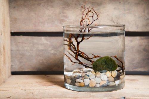 Hinterland Trading Live Aquatic Marimo Moss Ball Plant Pet Glass Cylinder Aquarium Kit