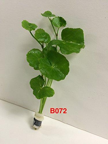 Hydorcotyle Leucocephala - Bundle Plant B072 - Buy 2 Get 1 Free Live Aquatic Plant Online