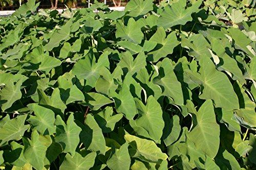 Pond Plant Taro Green