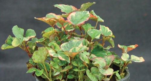 50 Variegated Chameleon Plants~marginal shore~koi Pondbogwater Garden ~hardy