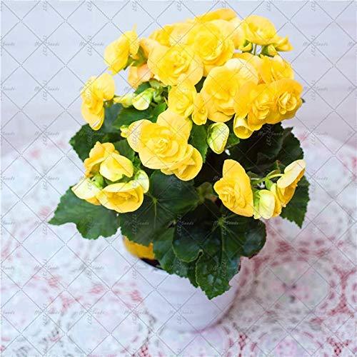 AGROBITS 100PCSBag Begonia Flower Bonsai Indoor and Outdoor Flower Plant Arbor Garden Gardening Flower Decoration Flower 2