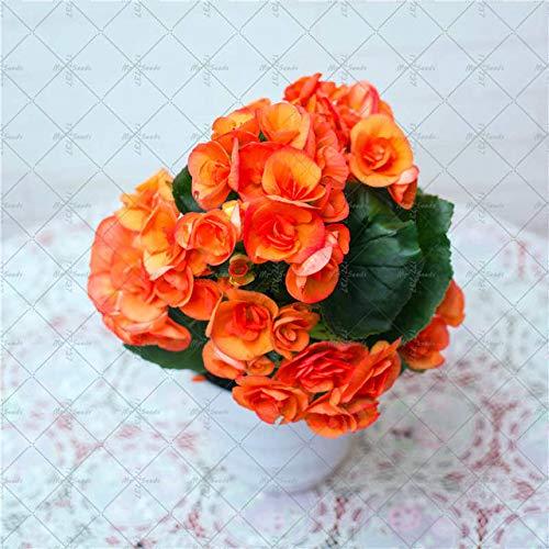 AGROBITS 100PCSBag Begonia Flower Bonsai Indoor and Outdoor Flower Plant Arbor Garden Gardening Flower Decoration Flower 3