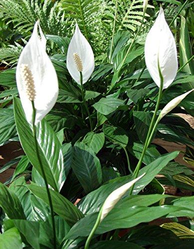 Hirts Peace Lily Plant - Spathyphyllium - Great House Plant - 4&quot Pot