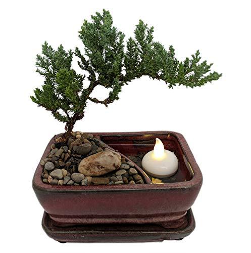 Reflections Japanese Juniper Bonsai Tree - PotSaucerLED Floating Candle-6x4x2