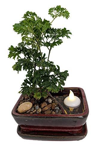 Reflections Ming Aralia Bonsai Tree - PotSaucerFloating LED Candle - 6x4x2