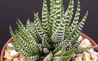 Haworthia-Attenuata-Zebra-Zebrina-Exotic-Rare-Succulent-Cactus-Plant-Cacti-4-quot-15.jpg