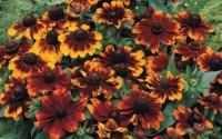 Toto-Rustic-Rudbeckia-30-Seeds-Great-Full-Sun-Perennial-16.jpg