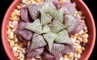 HAWORTHIA-MIRABILIS-BADIA-exotic-rare-succulent-bonsai-cactus-cacti-aloe-5-seeds-42.jpg