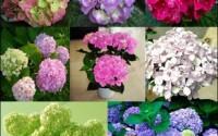 20-seeds-bag-Hydrangea-flower-seeds-potted-geraniums-balcony-hydrangea-indoor-plants-seeds-Yi-kinds-10-13.jpg