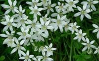 STAR-OF-BETHLEHEM-LILY-BULBS-ORNITHOGALUM-HARDY-PERENNIAL-PLANT-FLOWER-5-15-30-33.jpg