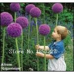 100-Purple-Giant-Allium-Giganteum-Beautiful-Flower-Seeds-Garden-Plant-the-budding-rate-95-rare-flower-for-kid-28.jpg