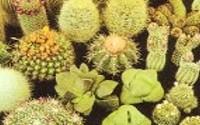 Cactus-cacti-variety-mix-10-seeds-21.jpg