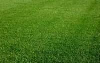 Perennial-Ryegrass-Seed-sucraseed-5-Pound-Wizard-Seed-Llc11.jpg