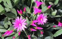 Magenta-Pink-Rhipsalidopsis-Easter-Christmas-Cactus-Plant-Cutting-Schlumbergera-5.jpg
