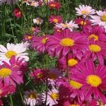 Pyrethrum-Daisy-Perennial-Plant-Mixed-Colors-Flower-500-Seeds6.jpg