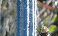 Pilosocereus-royenii-exotic-blue-color-columnar-rare-cacti-cactus-seed-20-SEEDS-47.jpg