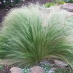 Stipa-tenuissima-Seeds-Mexican-Feather-Grass-Perennial-Ornamental-Grass-26.jpg