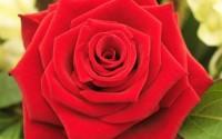 5-RED-ROSE-Rosa-Bush-Shrub-Perennial-Flower-Seeds-Comb-S-H-28.jpg