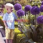 100-pcs-Giant-Allium-Giganteum-Beautiful-Flower-Seeds-Garden-Plant-the-rare-flower-seeds-for-flower-pot-planters-49.jpg