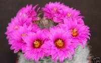 Mammillaria-Guelzowiana-cacti-rare-cactus-seed-15-SEEDS-31.jpg