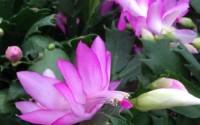 Pink-Christmas-Cactus-Plant-Zygocactus-4-Pot-9.jpg