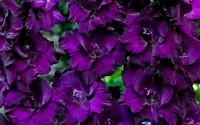 Purple-Mate-Gladioli-5-Beautiful-Flowering-Perennials-Sword-Lily-Gladiolus-Bulbs-41.jpg