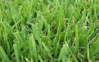 Compadre-Zoysia-Grass-Seed-8-Oz-1-2-Lb10.jpg