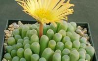 Easyshop-100pcs-Fenestraria-Aurantiaca-Seeds-Garden-Succulent-Plants-Potting14.jpg