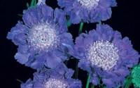 Scabiosa-Caucasica-Fama-Deep-Blue-Perennial-Seeds-34.jpg