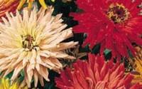 David-s-Garden-Seeds-Flower-Zinnia-Cactus-Flowered-Mix-Heat-Tolerant-D3651-multi-Color-1000-Open-Pollinated4.jpg