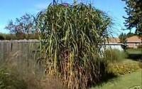 Miscanthus-floridus-GIANT-MAIDEN-GRASS-Seeds-14.jpg