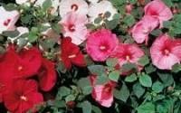 50-Hardy-Hibiscus-Mix-Seeds-Mallow-Flower-Rose-Mallow-Perennial-Hibiscus-Dinnerplate-Hibiscus-31.jpg