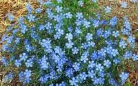 250-Blue-Flax-Flower-Seeds-Prairie-Fragrant-Perennial-Linum-perrene-Beautiful-13.jpg