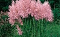 Outsidepride-Pampas-Grass-Seeds-Pink-5000-Seeds-27.jpg